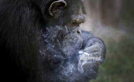 Cimpanzeul gradinii zoologice din Coreea de Nord \