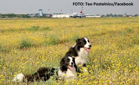Câinii care apără aeroportul Otopeni. De ce sunt vitali pentru siguranţa zborurilor