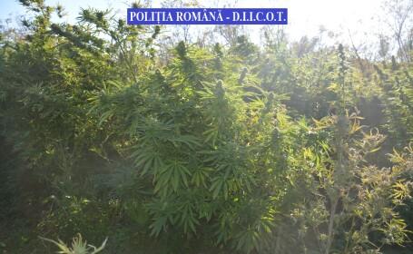 2,5 tone de cannabis, în valoare de 4 milioane de euro, găsite de poliţiştii din Timiș