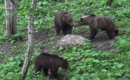 Din cauza lipsei hranei, urșii coboară la câmpie și distrug gospodăriile