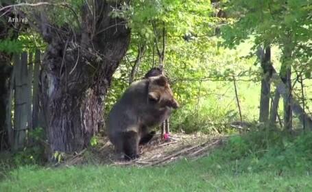 Ursul care a rănit doi oameni, în Făgăraș, va fi împușcat