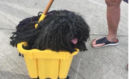 Câine mop