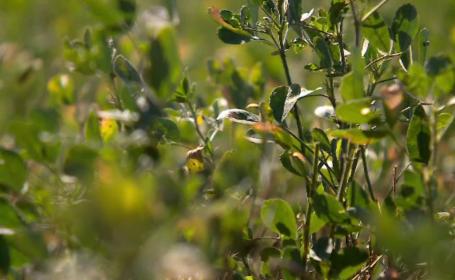 Producem tone de lucernă, dar hrănim cu ea animalele din țările arabe. Motivul pentru care o exportăm