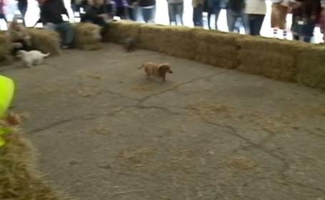 Cursă de viteză pentru câinii din rasa Teckel, deși alergatul nu este punctul lor forte