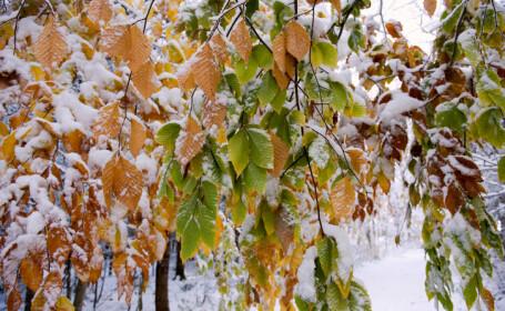 frunze acoperite de zapada