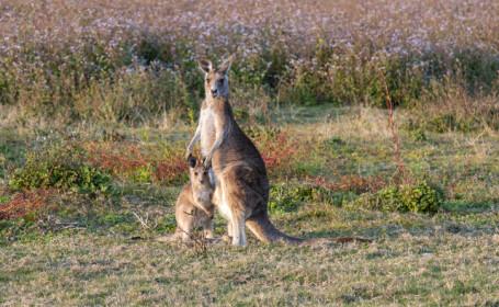 Cangurii vor fi împuşcaţi într-un stat din Australia