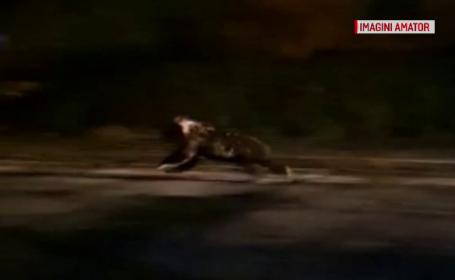 Momente de panică în Făgăraș. Un taximetrist a fugărit un urs pe străzile orașului