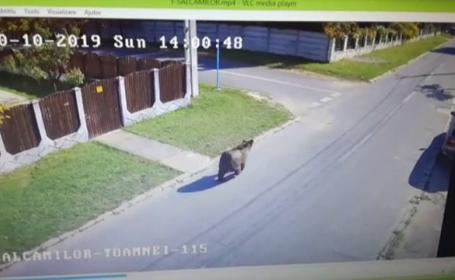Traseul ursului care a rănit 3 oameni în Brașov. Specialiştii i-au analizat comportamentul