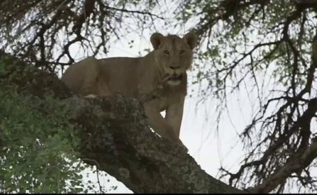 Leii din Africa, amenințați cu dispariția. De ce sunt uciși de triburile Maasai