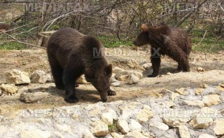 Contraceptivele - solutia pentru a opri inmultirea ursilor gunoieri!