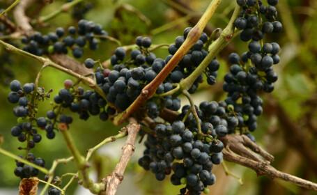 A inceput sarbatoarea vinului la Pietroasele