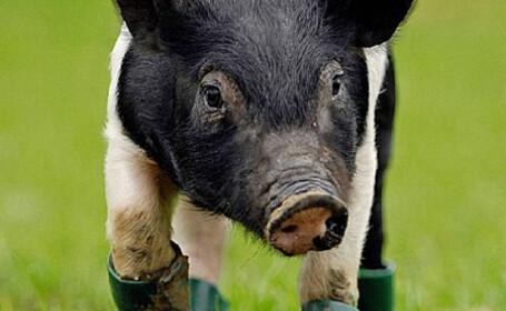 Nu degeaba se spune ca locul porcului e in cotet