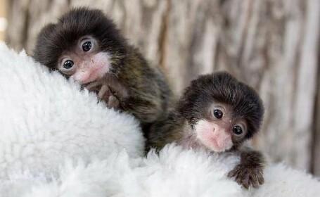 Maimuta tamarin