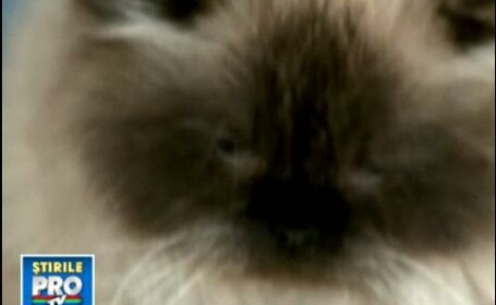 Pisica