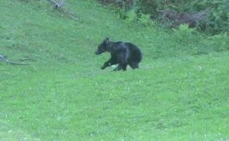 Ursul care a omorat un om in Dambovita cazuse in capcana montata de un braconier