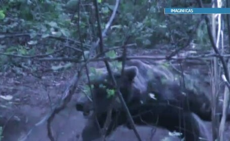 Cautarile ursului care a ucis un om, reluate. Complicii victimei au recunoscut ca faceau braconaj