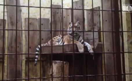 Tigrul RASPUTIN a ucis un ingrijitor in gradina Zoologica din Munster, Germania