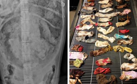 Un veterinar a gasit 43 de sosete in stomacul unui caine. Patrupedul a fost operat si se simte bine