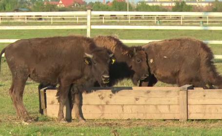 Ancheta dupa ce 12 bizoni de la o ferma din Salonta au murit intoxicati cu Furadan, substanta interzisa in Romania