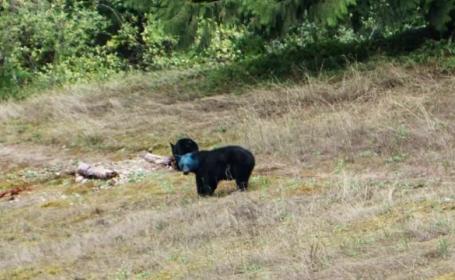 urs albastru Canada - stiri