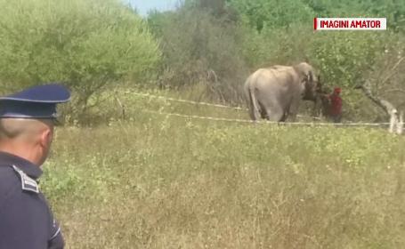 Un elefant de la un circ ambulant a scapat pe strazile din Ramnicu Valcea. Unde l-au gasit politistii dupa cateva ore