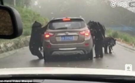 Momentul in care cativa ursi au inconjurat o masina si incearca sa-i deschida portiera, filmat. Cum s-a incheiat incidentul