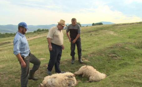 Alertă în Bihor. Haite de lupi au coborât din munți și au ucis zeci de oi. Reacția ciobanilor