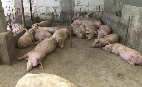 Țara în care au fost sacrificați 200.000 de porci. Pesta porcină s-a răspândit din cauză că au fost duși dintr-o zonă în alta