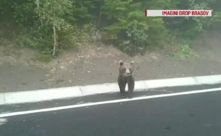 urs pe sosea