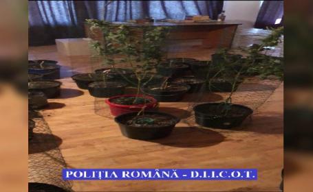 plantatie canabis in Timisoara