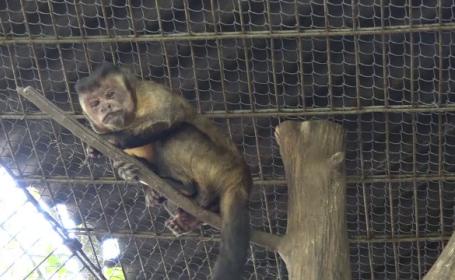 gradina zoologica, pui, capucin brun, specie, maimuta