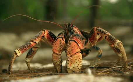 Scene desprinse din filmele de groază, după ce zeci de crabi uriași au invadat un camping. FOTO