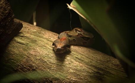 piton, șarpe