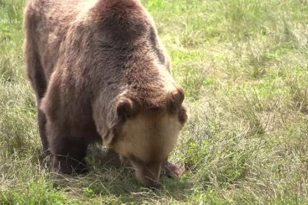 Încă un bărbat a fost ucis de un urs. Trupul său a fost găsit cu drona