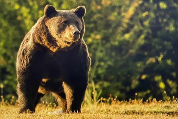 Un cioban atacat de urs la o stână din Harghita a ajuns la spital cu răni la torace şi abdomen