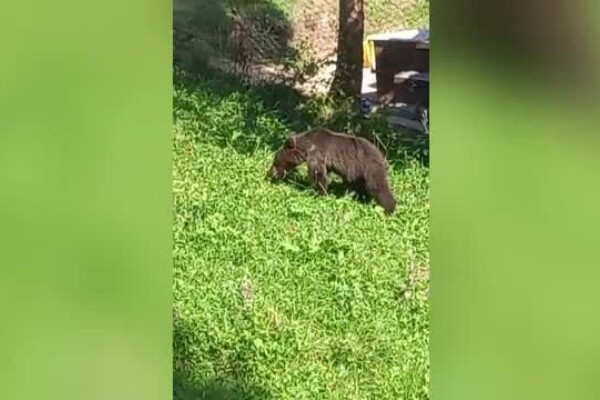 Un pui de urs a ajuns în gospodăria unui jandarm din Dâmbovița