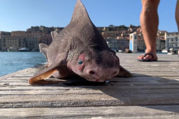 Un pește care arată ca o încrucișare între un porc și un rechin a fost găsit de un grup de marinari italieni