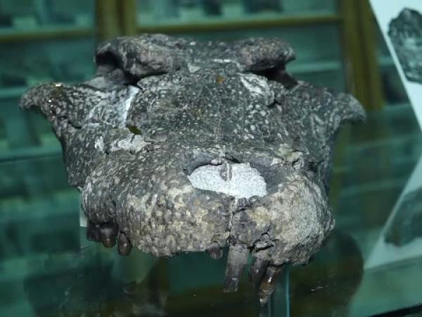 """Fosila """"crocodilului"""" pitic găsit în Haţeg"""