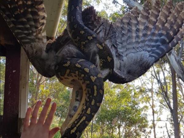 Momentul șocant în care un șarpe devorează o pasăre, la fereastra unei femei