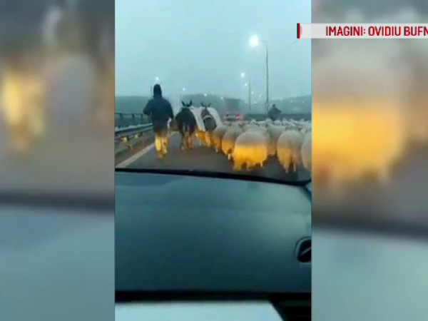 Replica unui cioban certat de șoferi că a intrat cu oile pe autostradă: