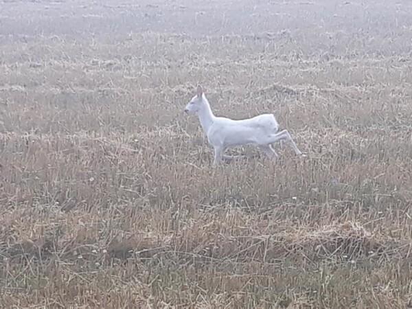 Căprioară albă pe un câmp din Cluj - 6