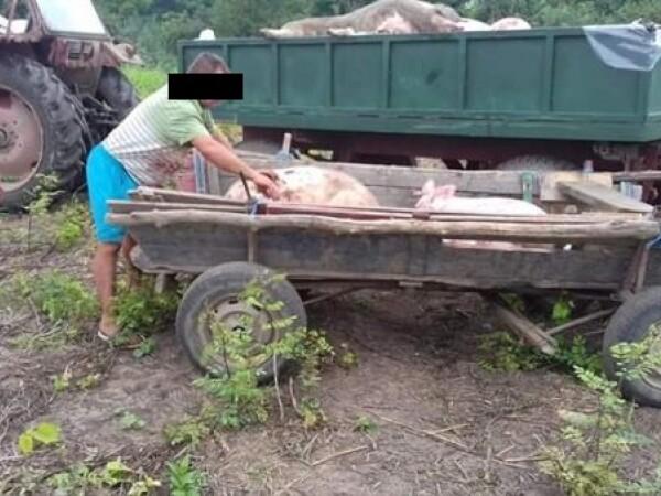 furt porci