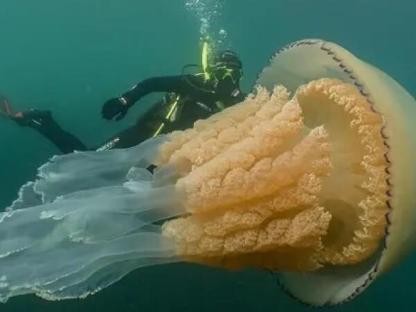 meduza la Cornwall