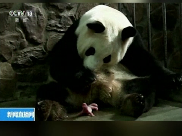 Ursoaica Panda din China
