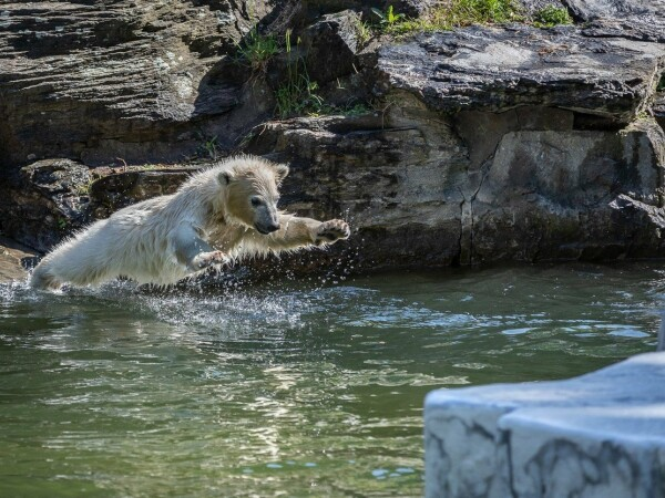 Caniculă în Europa. Urșii polari de la zoo se răcoresc în apă