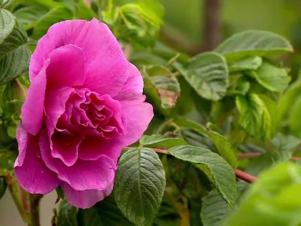 Povestea celei mai mari plantaţii de trandafiri din ţară