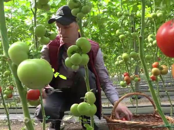 """Programul """"Roşia românească"""", afectat de vremea capricioasă. Prețul unui kg de tomate"""