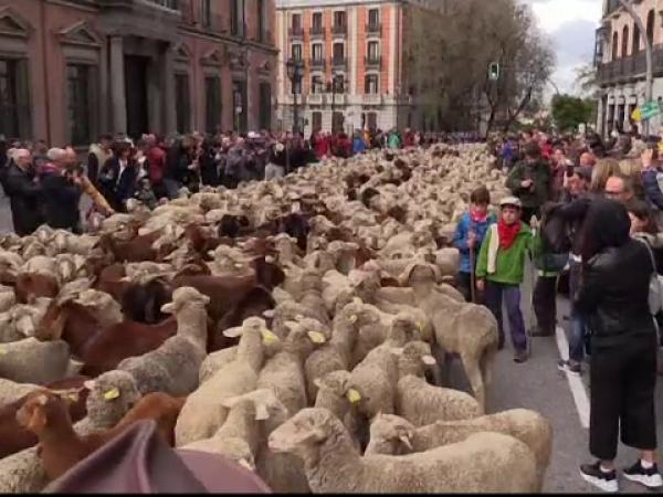 """Reacția localnicilor când au văzut sute de oi pe strădile din Madrid. """"Îmi plac animalele"""""""