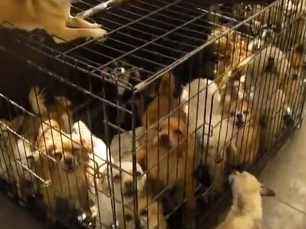 O femeie a fost arestată după ce autoritățile au găsit-o cu peste 100 de câini în locuință