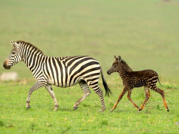 """Imagini unice cu un pui de zebră """"mutant"""". Cum au fost surprins - 3"""